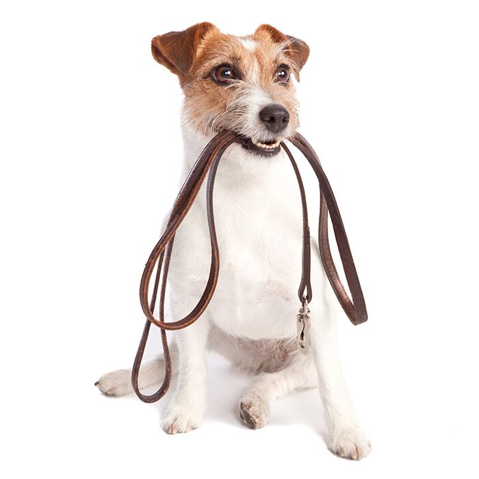 Sitting dog holding a leash in it's mouth